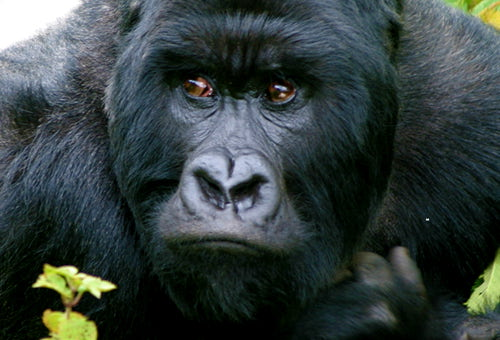 when do gorillas reach maturity
