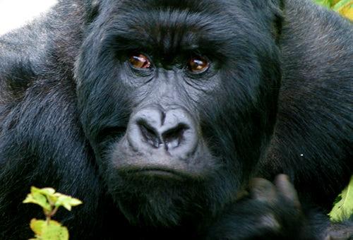 About Gorillas - The Gorilla Organization